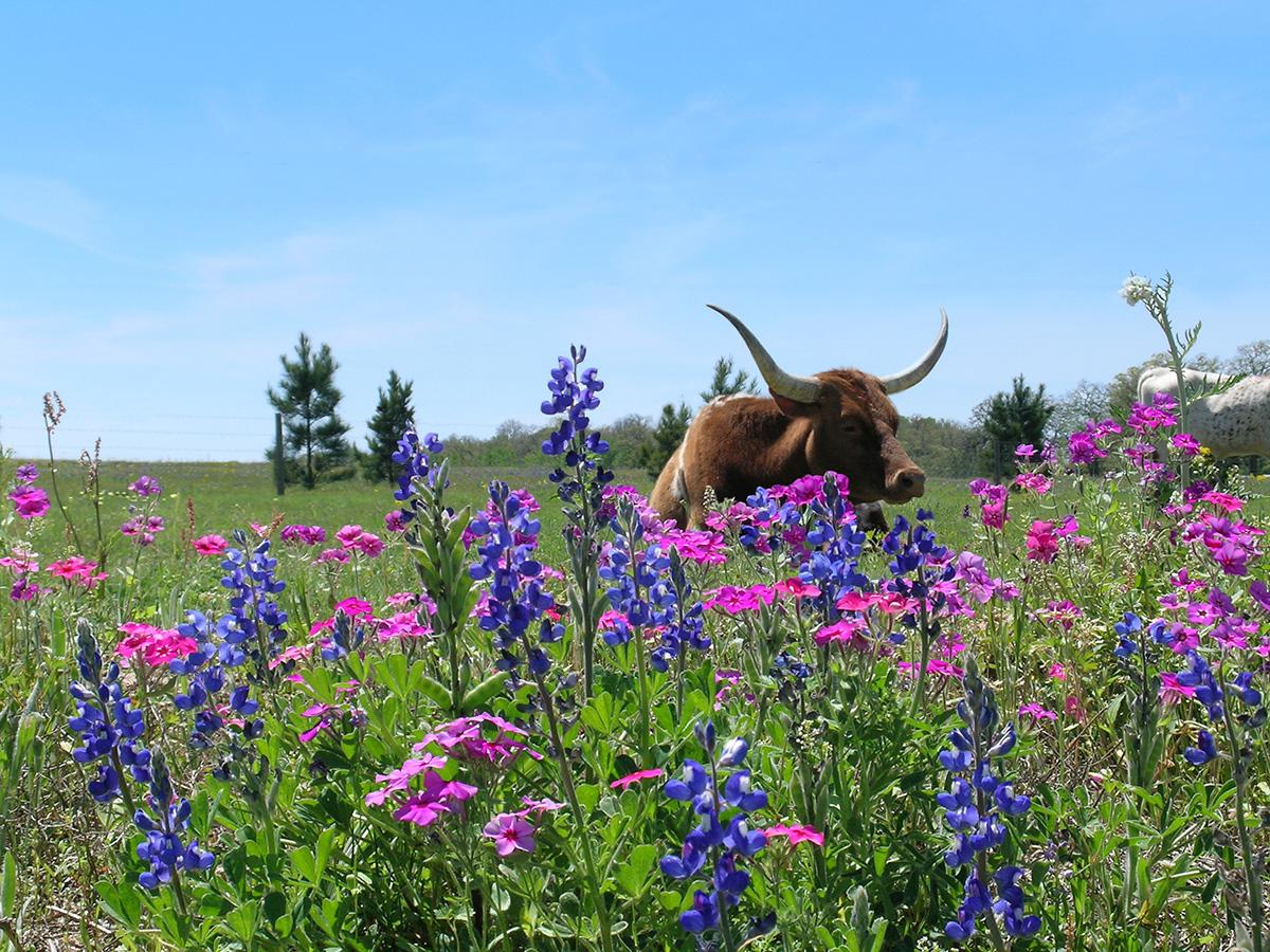 wildflowerslonghorn-jo1151-mw
